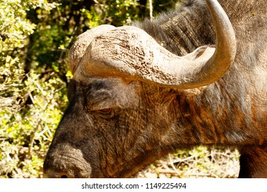 Close up of an buffalo standing in the field