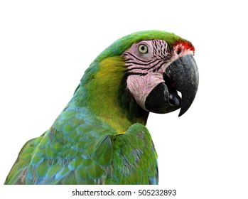 Close up of Buffon's Macaw face isolated on white background, exotic animal portrait