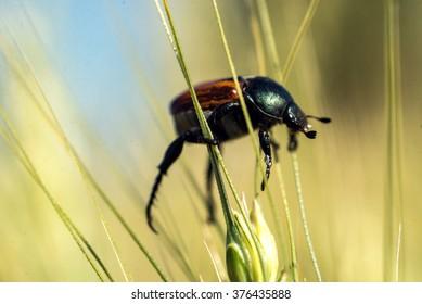 Close up bug climbing on the green grass, bug climbing an ear wheat