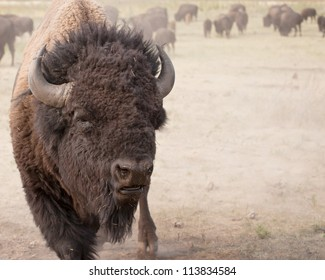 Close up of a bull american bison, with a herd of bison in the background.  Summer in Custer State Park, South Dakota.