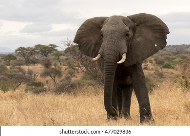 Close up of bull elephant with African Savanna and cloudy sky in background.