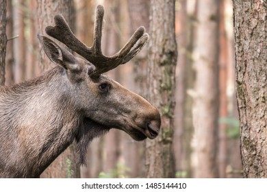 Close up of bull elk with forest in the background