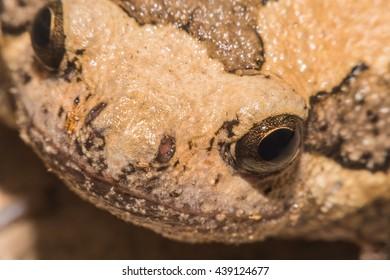 Close up bullfrog soft focus,Macro shot