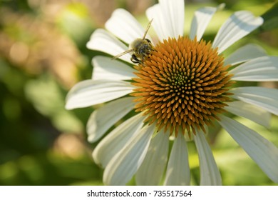 Close up of a bumble bee on a white coneflower with orange centre.