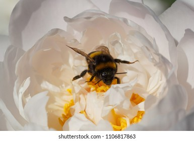 close up of bumblebee inside white peony flower