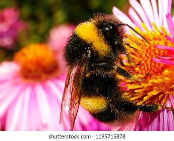 Close up of a bumblebee on a flower, fluffy bumblebee in pollen, bumblebee pollinating a flower