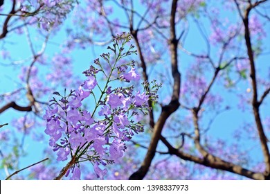 Close up of a bunch of beautiful Jacaranda obtusifolia (Green ebony, Jacaranda), dark purple bud flowers and blossom having blue sky as background.
