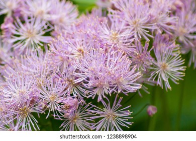 Close up of a bunch of lilac colored spiky flowers