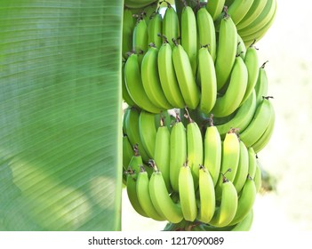 Close up Bunch of Raw Banana with green leaf on tree in garden.