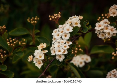 A close up of a bunch of Spiraea flowers on a branch with unopened buds behind