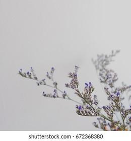 Close up bunch of violet Limonium-Caspia