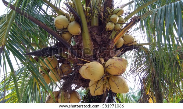 Close up a bunch of yellow coconut at tree