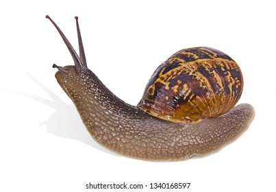 Close up of Burgundy (Roman) snail isolated on white background