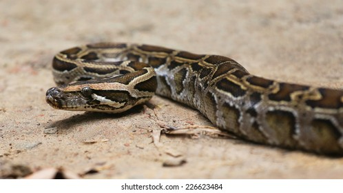 Close up of a burmese python on ground