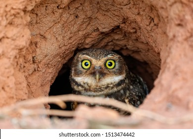 Close up  of a Burrowing Owl sitting in its clay nest on the ground, facing to camera, San Jose do Rio Claro, Mato Grosso, Brazil