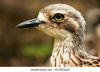 Close up of a Bush Stone-Curlew during the day.