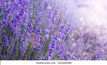 Close up Bushes of lavender purple aromatic flowers at lavender field