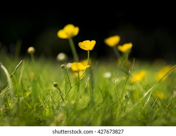 Close up of buttercup with more buttercups behind