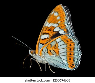 A close up of the butterfly (Limenitis sydyi lataefasciata). Isolated on black.