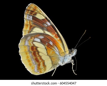 A close up of the butterfly (Neptis thisbe), profile. Isolated on black.