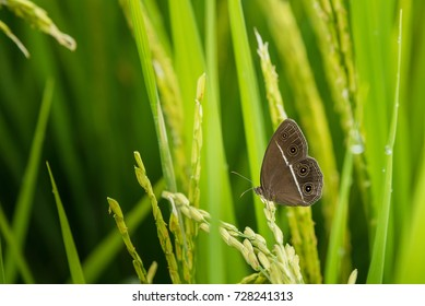 Close up Butterfly on green Jasmine rice with soft warm light in the morning at Thailand