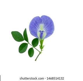 Close up of Butterfly pea flower with leaf isolated on white background , Clitoria ternatea