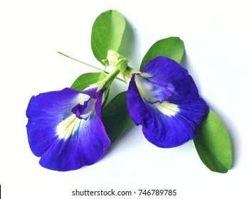 Close up of Butterfly pea flower on white background , Clitoria ternatea