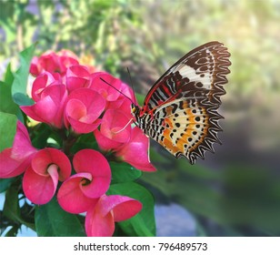 Close up the butterfly and pink Euphorbia milii flowers in the garden.