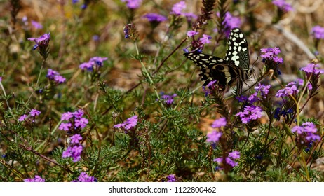 Close up of a Butterfly sitting on purple flowers in the field