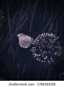 close up of a butterfly with white wings sitting on a blooming wild flower against dark grass background, monochrome, black and white, contrast moody, dramatic light