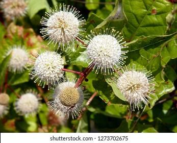 Close up of button bush flower