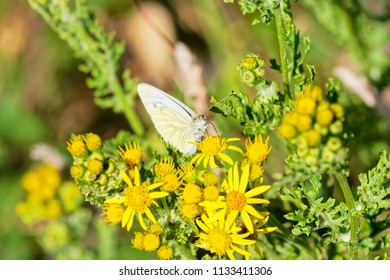 Close up of a Cabbage White butterfly feeding on nectar from a Groundsell flower