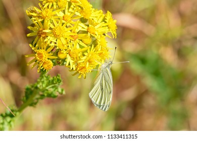 Close up of a Cabbage White butterfly feeding on nectar from a bright yellow Groundsell flower