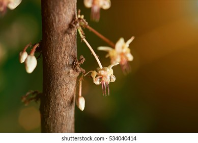 close up of cacao bloom flowers on cocoa tree