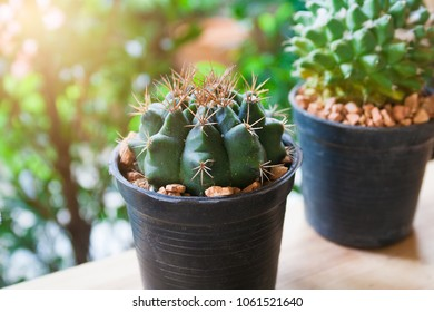 Close up cactus on the morning light background.