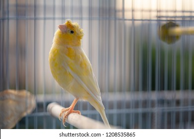 close up of a caged yellow canary bird