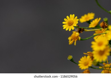 close up Calendula arvensis, Field Marigold with the black background