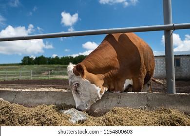 Close up of calf licking a block a salt.