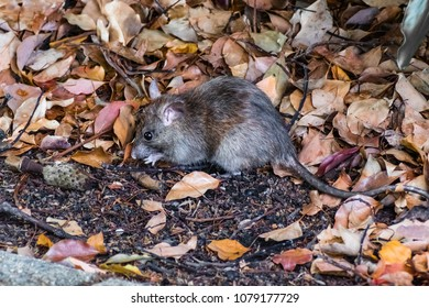 Close up of California mouse (Peromyscus californicus) in a public park, looking for food just of a paved path, San Francisco bay area, California