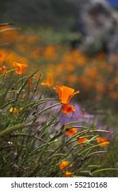 close up of a california poppy (Eschscholzia californica)
