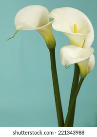 Close up Calla Lily Flowers shot in the studio on a solid teal  background