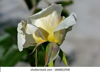 Cerca del calix de una rosa blanca. Finaliza la imagen de macro. Los sépalos de rosas son el verde exterior de la flor que encierra por completo el abdomen y se aplanan a medida que el brote se abre para mostrar la flor.