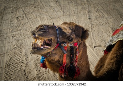 Close up of the camel head. Angry camel showing its teeth. Camel in Touzeur, Tunisia, Sahara dessert