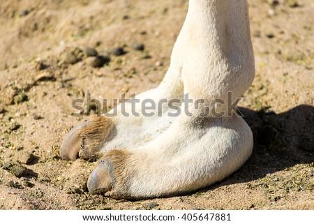 Camelhoof