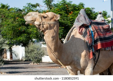 Close up of camel mammal shot on the street. Dromedary animal can be ride in Israel