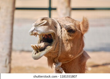 Close up camel shot with mouth and teeth open wide in the United Arab Emirates.