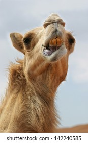 Close up of camel  in Wadi Sumayni, Oman, Middle East