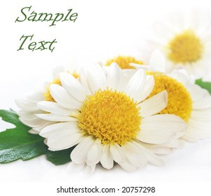 close up of camomile with space for text (easy to remove)