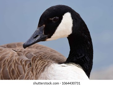 close up of canada goose at ketring lake in littleton, colorado