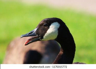 close up of a canadian goose with its mouth open in the park